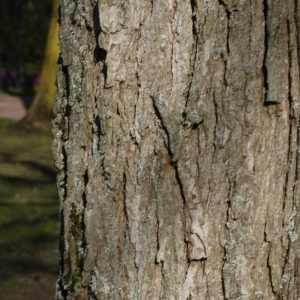 Photographie n°212951 du taxon Quercus L. [1753]
