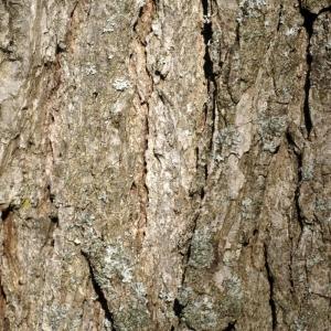Photographie n°212953 du taxon Quercus L. [1753]