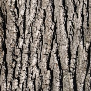 Photographie n°212956 du taxon Quercus pubescens Willd. [1805]