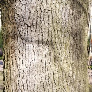 Photographie n°212958 du taxon Quercus robur L. [1753]