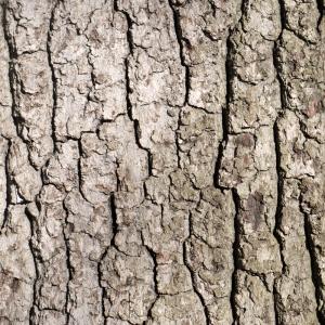 Photographie n°212959 du taxon Quercus robur L. [1753]