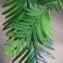 Liliane Roubaudi - Sequoia sempervirens (D.Don) Endl. [1847]