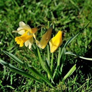 Photographie n°213016 du taxon Narcissus pseudonarcissus L. [1753]