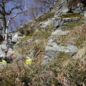 Photographie n°213063 du taxon Narcissus pseudonarcissus L. [1753]