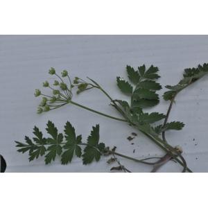 Pimpinella saxifraga L. subsp. saxifraga (Boucage saxifrage)