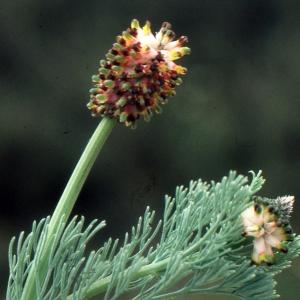 Photographie n°213148 du taxon Platycapnos spicata (L.) Bernh.