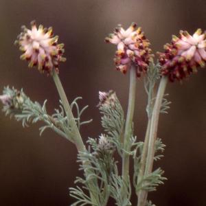 Photographie n°213149 du taxon Platycapnos spicata (L.) Bernh.