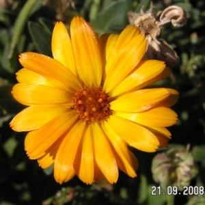 Calendula arvensis L. (Souci des champs)