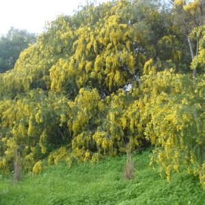 Photographie n°213203 du taxon Acacia 1