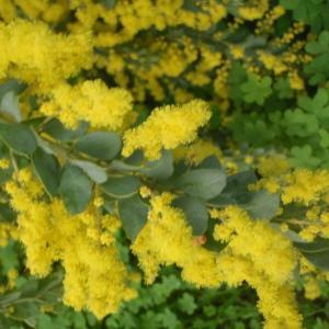 Photographie n°213204 du taxon Acacia 1