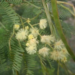 Photographie n°213205 du taxon Acacia 2