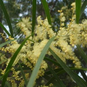 Photographie n°213206 du taxon Acacia 3