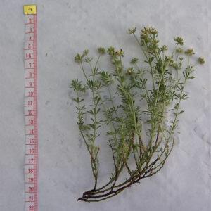 Photographie n°213230 du taxon Dorycnium pentaphyllum subsp. pentaphyllum