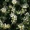 Brigitte GENTIT - Dorycnium pentaphyllum subsp. pentaphyllum