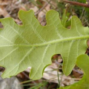 Photographie n°213244 du taxon Quercus pubescens Willd. [1805]
