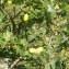 Jean-Claude Calais - Quercus robur L.
