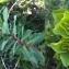 Nicolas SUBERBIELLE - Euphorbia helioscopia L. [1753]
