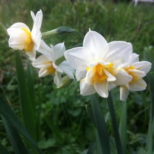 Narcissus tazetta subsp. italicus (Ker Gawl.) Baker (Narcisse d'Italie)