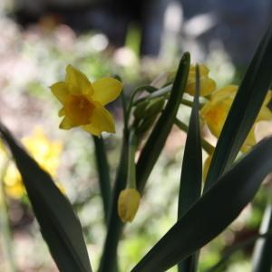 Photographie n°213328 du taxon Narcissus tazetta subsp. aureus (Loisel.) Baker [1888]