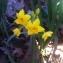 Nicolas SUBERBIELLE - Narcissus tazetta subsp. aureus (Loisel.) Baker [1888]