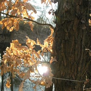 Photographie n°213372 du taxon Quercus robur L. [1753]
