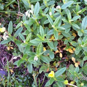 Photographie n°213405 du taxon Helianthemum canum (L.) Baumg. [1816]