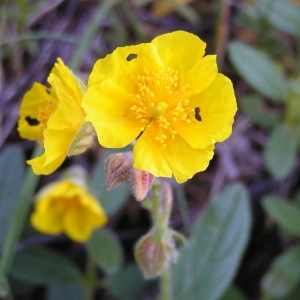 Photographie n°213407 du taxon Helianthemum canum (L.) Baumg. [1816]
