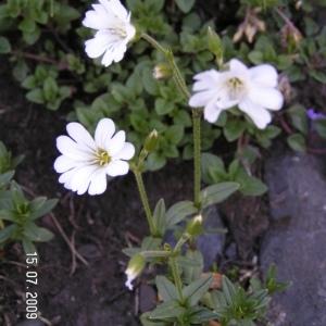 Photographie n°213408 du taxon Cerastium alpinum L. [1753]