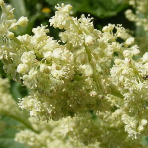 Rheum rhaponticum L. (Rhubarbe sauvage)