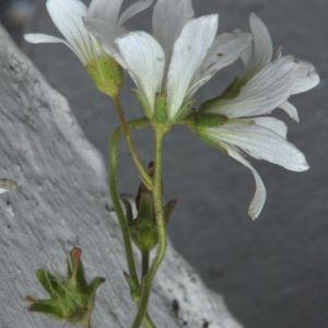 Photographie n°213510 du taxon Saxifraga granulata L.