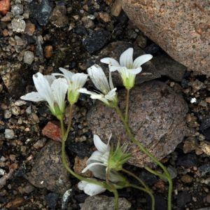 Photographie n°213511 du taxon Saxifraga granulata L.