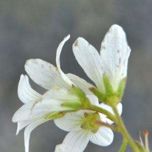 Photographie n°213512 du taxon Saxifraga granulata L.