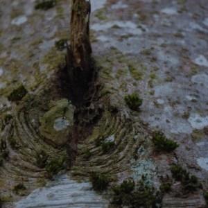 Photographie n°213549 du taxon Abies alba Mill. [1768]
