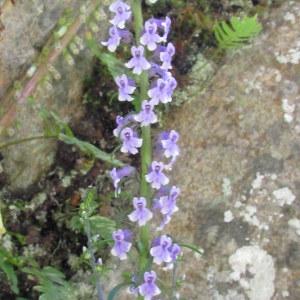 Photographie n°213617 du taxon Anarrhinum bellidifolium (L.) Willd.