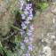 Joceline Chappert-bessiere - Anarrhinum bellidifolium (L.) Willd.