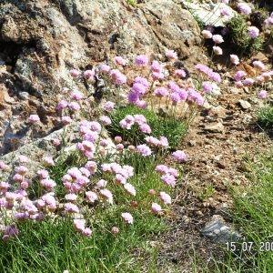 Photographie n°213652 du taxon Armeria pubinervis Boiss.