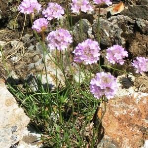 Photographie n°213653 du taxon Armeria pubinervis Boiss.