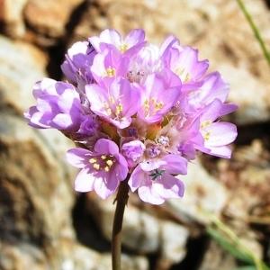 Photographie n°213654 du taxon Armeria pubinervis Boiss.