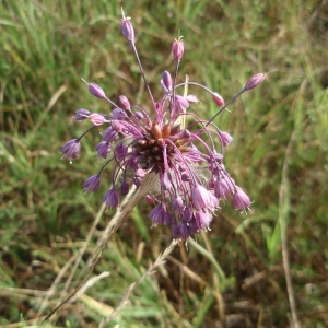 Photographie n°213665 du taxon Allium carinatum L. [1753]