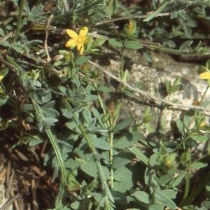 Photographie n°213746 du taxon Hypericum humifusum L. [1753]