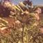 Liliane Roubaudi - Nicotiana tabacum L.