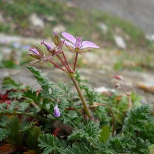 Photographie n°213763 du taxon Erodium cicutarium subsp. cicutarium