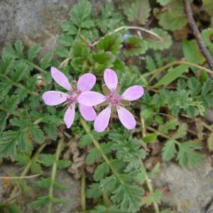 Photographie n°213765 du taxon Erodium cicutarium subsp. cicutarium
