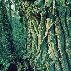 Photographie n°213776 du taxon Populus nigra L.