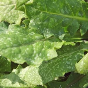 Photographie n°213867 du taxon Crepis sancta (L.) Bornm. [1913]