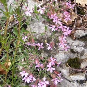 Photographie n°213910 du taxon Saponaria ocymoides L.