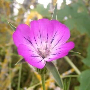 Photographie n°213950 du taxon Agrostemma githago L. [1753]