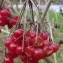 Jean-Claude Echardour - Viburnum opulus L.