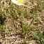 Alain Bigou - Ranunculus pyrenaeus subsp. pyrenaeus