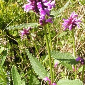 Photographie n°213997 du taxon Betonica officinalis subsp. officinalis